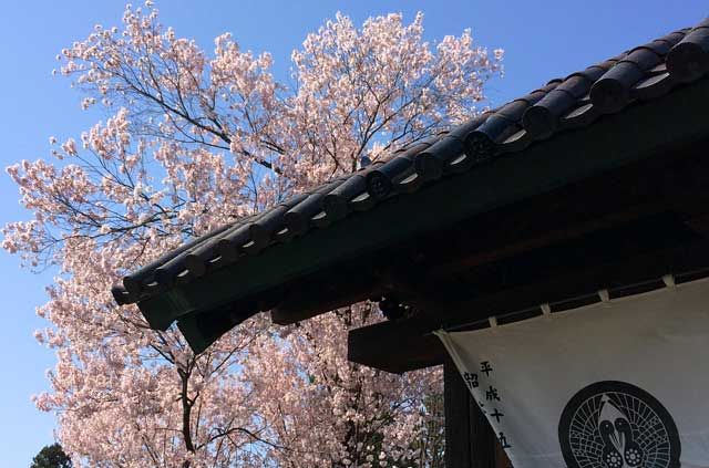 光台寺の桜