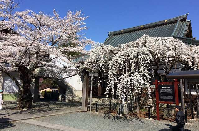 龍谷寺のモリオカシダレ