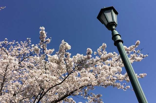 龍谷寺の桜