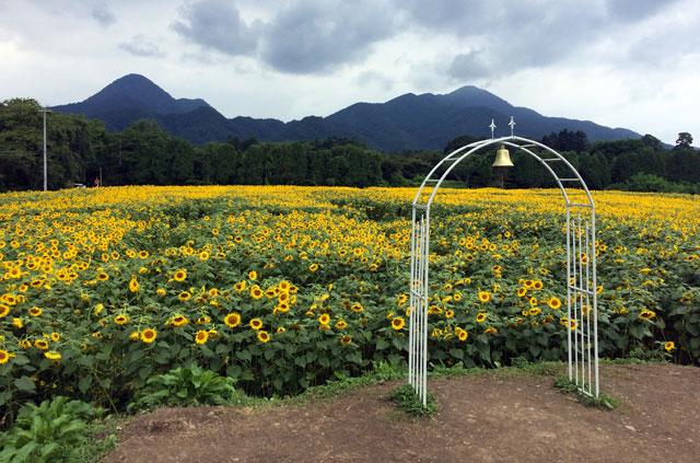 矢巾町煙山公園のひまわり畑