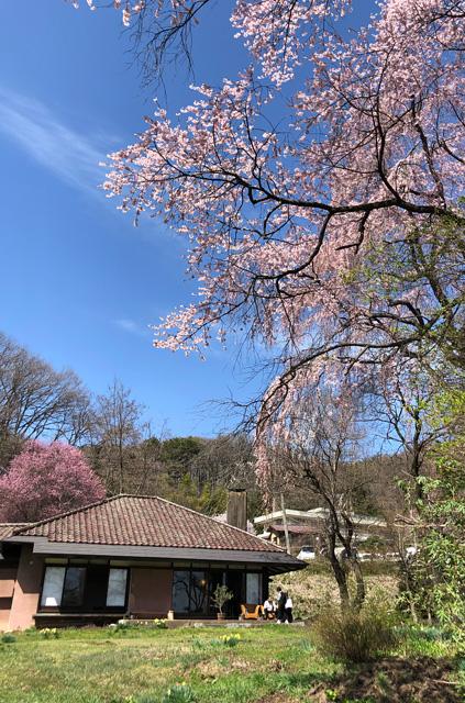愛宕下の庭にある桜